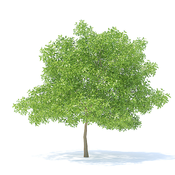 Pear Tree 3D Model 6.3m - 3DOcean Item for Sale