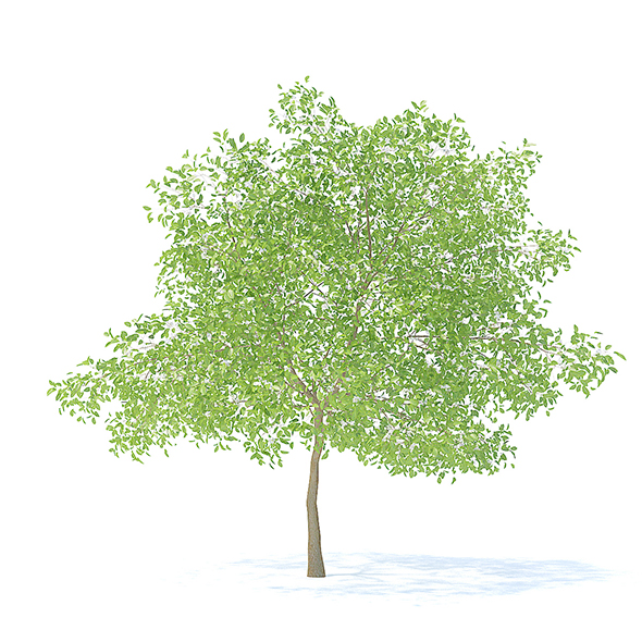 Pear Tree with Flowers 3D Model 6.3m - 3DOcean Item for Sale