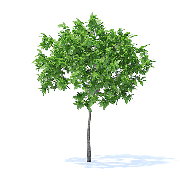 Plum Tree 3D Model 2m - 3DOcean Item for Sale