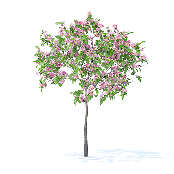 Plum Tree with Flowers 3D Model 2m - 3DOcean Item for Sale