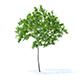 Cherry Tree 3D Model 2.5m