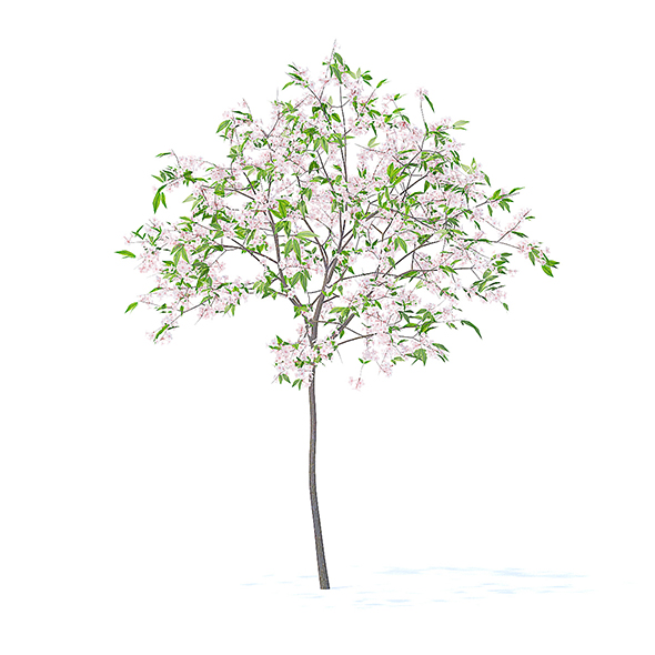 Cherry Tree with Flowers 3D Model 2.5m - 3DOcean Item for Sale