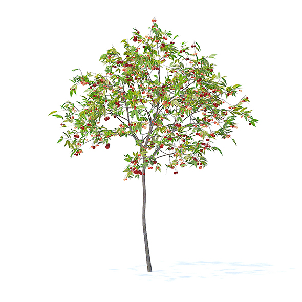 Cherry Tree with Fruits 3D Model 2.5m - 3DOcean Item for Sale