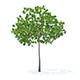 Cherry Tree 3D Model 3.3m