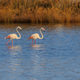pink flamingos walking through the water - PhotoDune Item for Sale