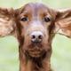 Funny dog ears - PhotoDune Item for Sale