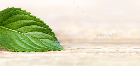 Healthy green mint leaf - Stock Photo - Images