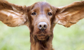 Funny dog ears - PhotoDune Item for Sale