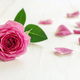 Pink rose with petals - PhotoDune Item for Sale