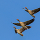 wild geese in flight - PhotoDune Item for Sale