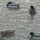 Ducks Breed Mallards Swim in the Lake - VideoHive Item for Sale