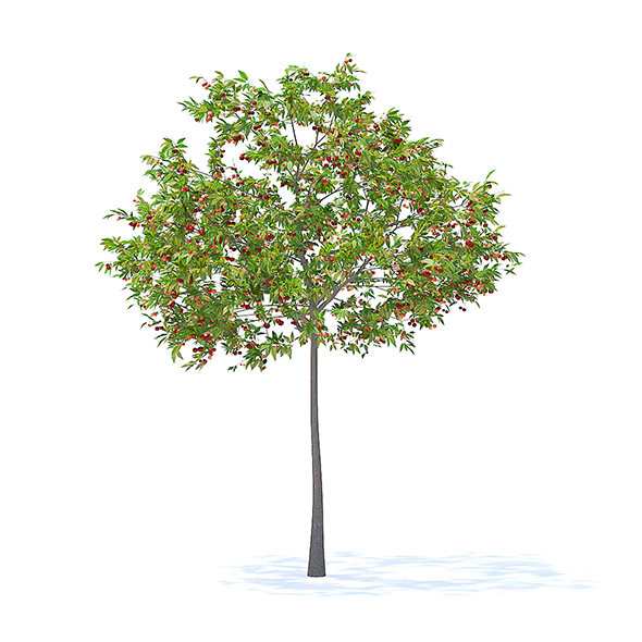 Cherry Tree with Fruits 3D Model 3.3m - 3DOcean Item for Sale