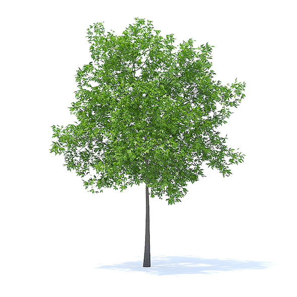 Cherry Tree 3D Model 5.7m - 3DOcean Item for Sale