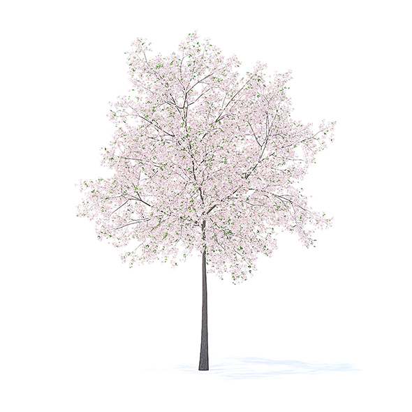 Cherry Tree with Flowers 3D Model 5.7m - 3DOcean Item for Sale