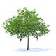Cherry Tree 3D Model 6.5m