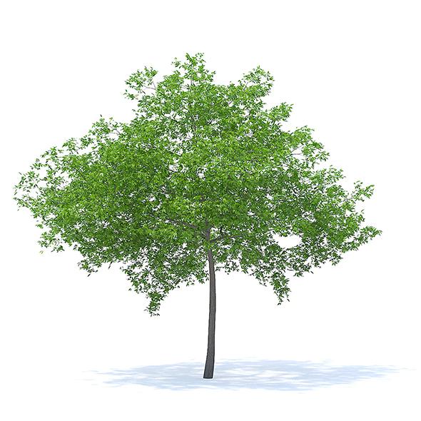 Cherry Tree 3D Model 6.5m - 3DOcean Item for Sale