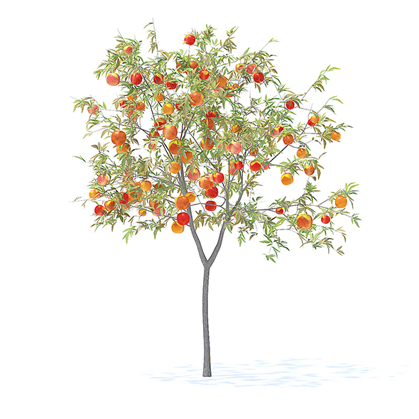 Peach Tree with Fruits 3D Model 2.3m - 3DOcean Item for Sale