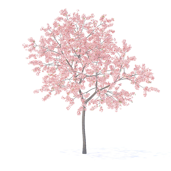 Peach Tree with Flowers 3D Model 3m - 3DOcean Item for Sale