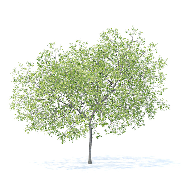 Peach Tree 3D Model 5.8m - 3DOcean Item for Sale