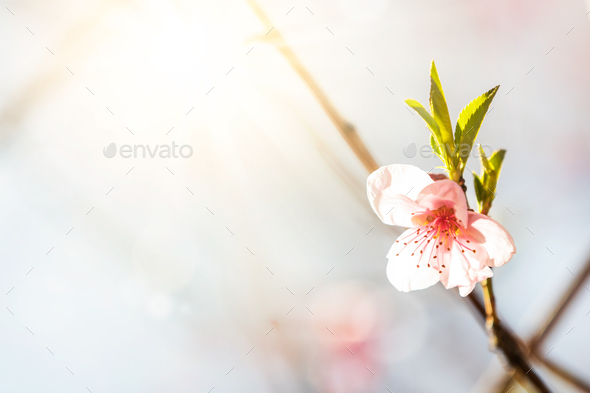 Tree blossom - Stock Photo - Images