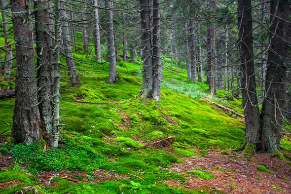 Green pine forest - Stock Photo - Images