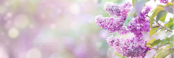 Lilac flowers blossom - Stock Photo - Images