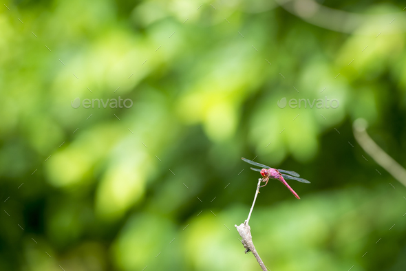 Dragonfly On Branch - Stock Photo - Images