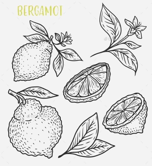 Sketch of Citrus Tropical Lemon Harvest - Food Objects