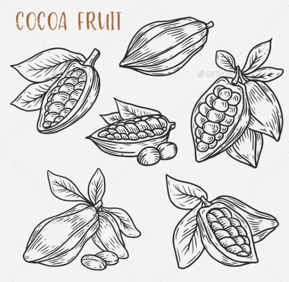 Sketches of Cocoa Beans on Pod - Food Objects