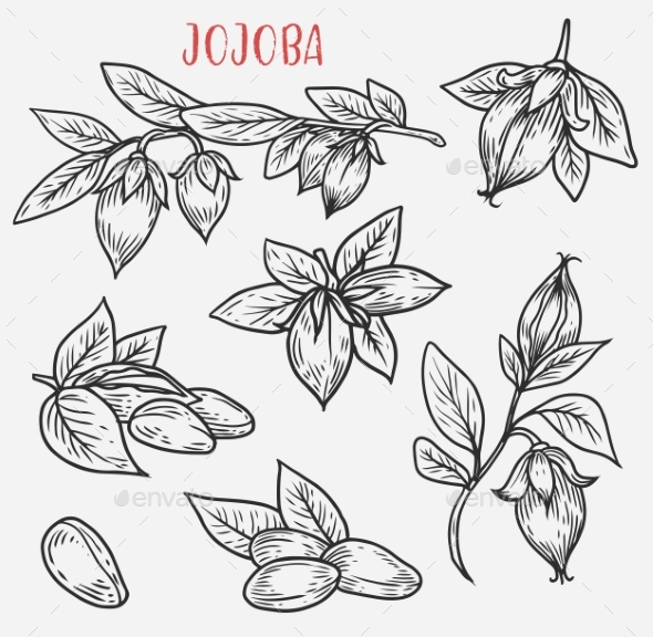 Sketches of Jojoba Stem with Leaves and Nut - Flowers & Plants Nature