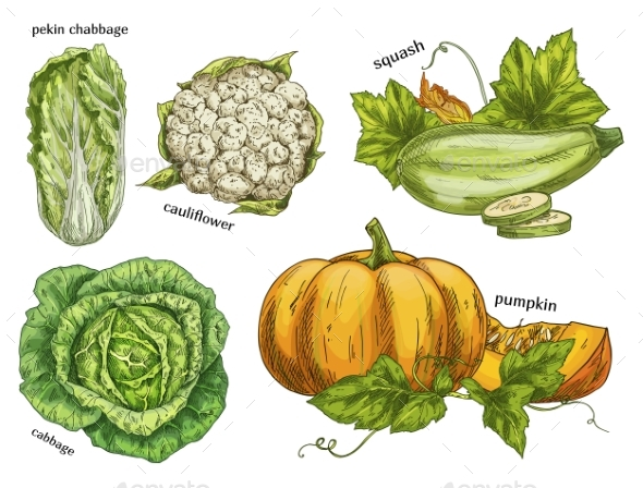 Sketch of Napa Cabbage, Squash and Cauliflower - Food Objects