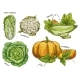 Sketch of Napa Cabbage, Squash and Cauliflower