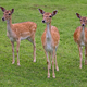 Fallow deers in a clearing - PhotoDune Item for Sale