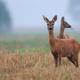 Roe-deers in a clearing  - PhotoDune Item for Sale