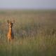 Young Buck deer iin the morning mist - PhotoDune Item for Sale