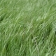 Young Grass Swaying on a Strong Wind. - VideoHive Item for Sale