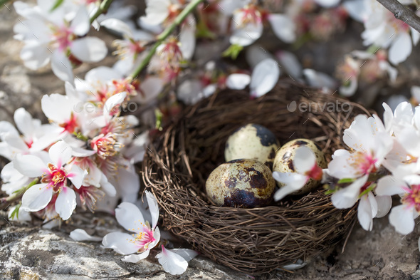 Quail eggs and blossom - Stock Photo - Images