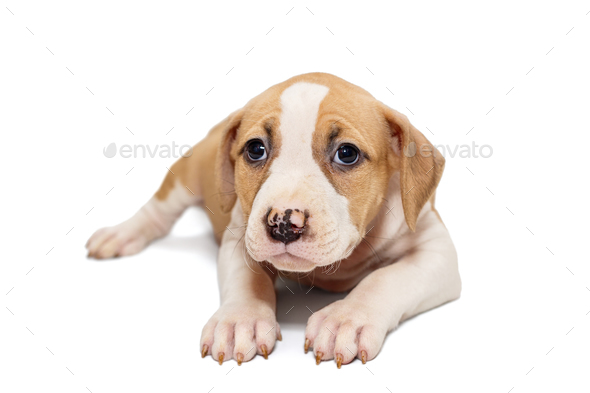 Small Staffordshire Terrier puppy - Stock Photo - Images