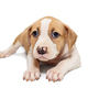 Small Staffordshire Terrier puppy - PhotoDune Item for Sale