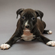 Puppy Staffordshire Terrier - PhotoDune Item for Sale
