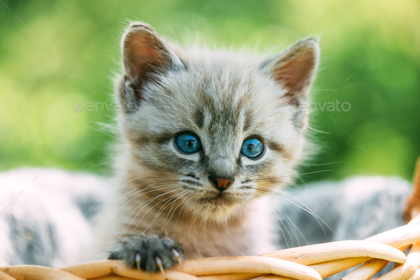 Small kitten with blue ayes in basket - Stock Photo - Images