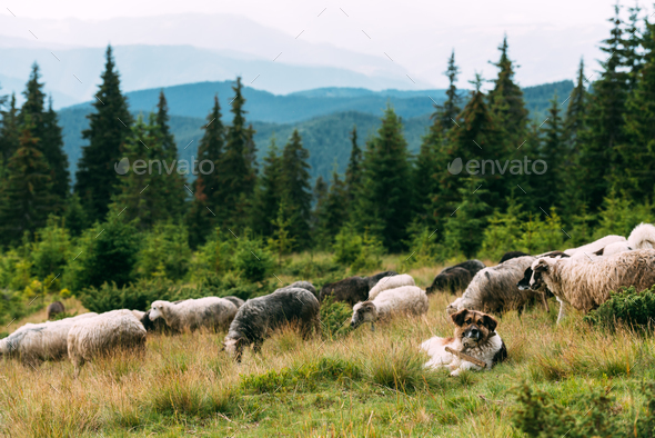 Brown shepherd dog protect the sheeps heard - Stock Photo - Images