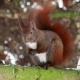 Red Squirrel on Tree Forest - VideoHive Item for Sale