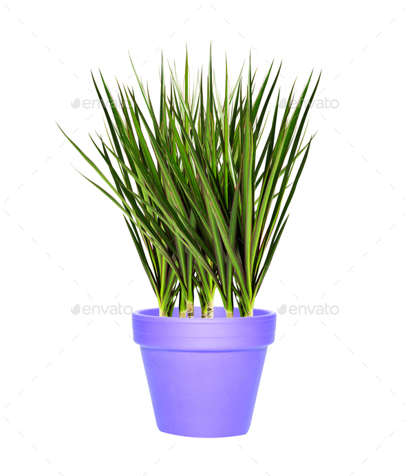 bush in a clay pot - Stock Photo - Images