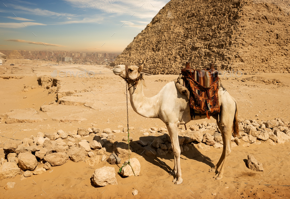 Camel near ruins - Stock Photo - Images