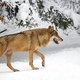 Wolf in the forest in winter  - PhotoDune Item for Sale