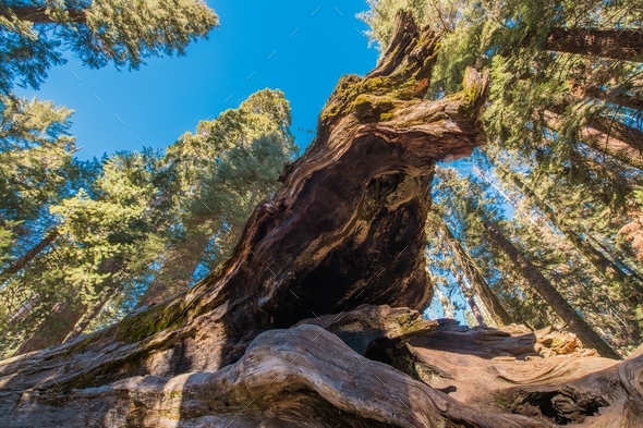 Fallen Giant Sequoia Tree - Stock Photo - Images
