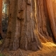 Giant Sequoias Grove - PhotoDune Item for Sale