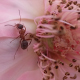 Ant on flower - VideoHive Item for Sale