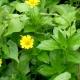 Calendula Flower, Medicinal Plant. Calendula Officinalis - VideoHive Item for Sale